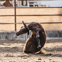 Calf roping sequence 3